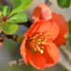 長寿梅の画像