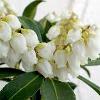 屋久島白花アセビの画像